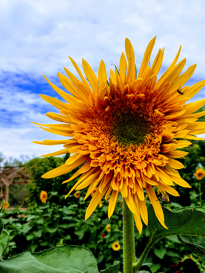Mortimer Farms sunflower