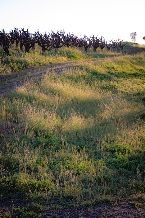 dirt road climbs uphill passed the old vines